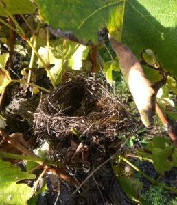 Un nid accroché aux ceps